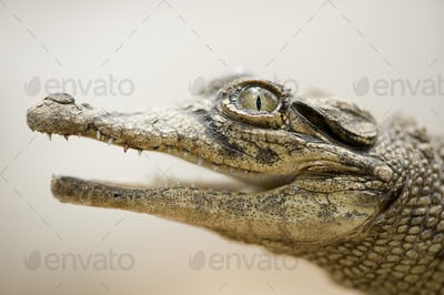 Young caiman