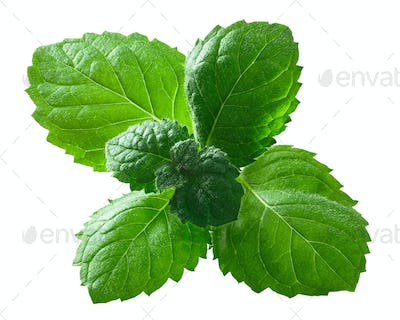 Peppermint mint m. piperita leaves, paths