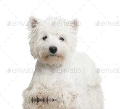 West Highland White Terrier (8 months)