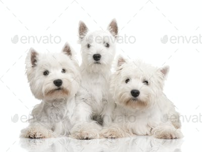 West Highland White Terrier in a row