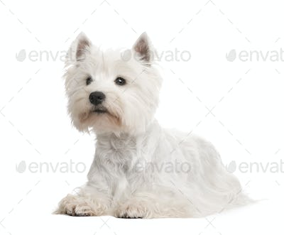 West Highland White Terrier ()