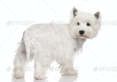 West Highland White Terrier ()