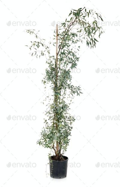 Eucalyptus gunnii in studio