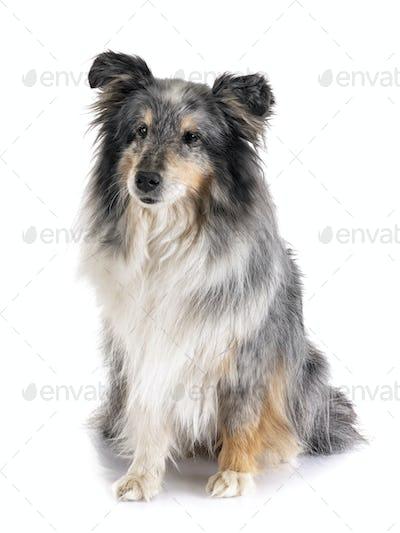 shetland sheepdog in studio