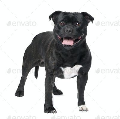 Staffordshire Bull Terrier ()