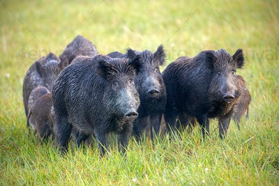 A herd of wild boars on a meadow with grass wet from dew