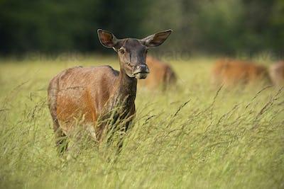 Red deer hind in summer with herd in background