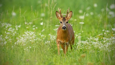 Young roe deer walking towards camera surrounded by white flowers in summer