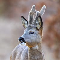 Close-up of roe deer buck with growing antlers covered in velvet