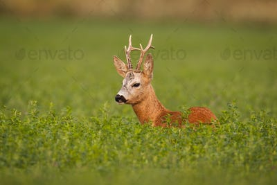 Roe deer, caprelous capreolus, buck in clover with green blurred background