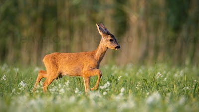 Roe deer fawn walking on a meadow with wildflowers