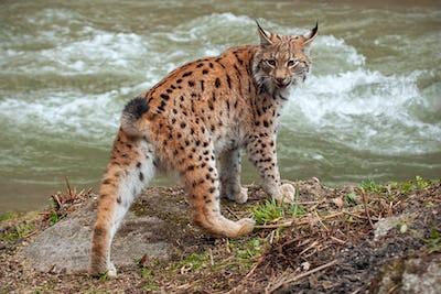 Eurasian lynx near water stream looking behind itself