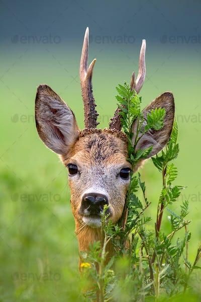 Detail of head of roe deer buck in summer