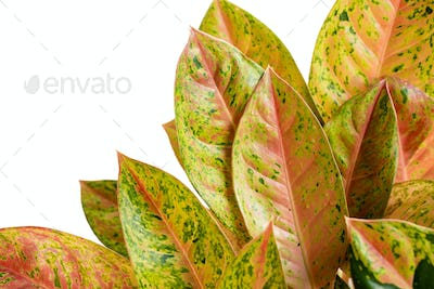 Beautiful and attractive tropical leaves of Donakarmen
