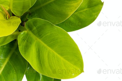 Top view of Philodendron Moonlight plants