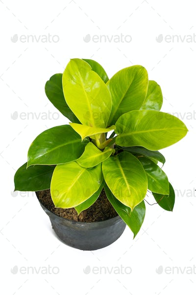 Green and beautiful potted Philodendron Moonlight plants