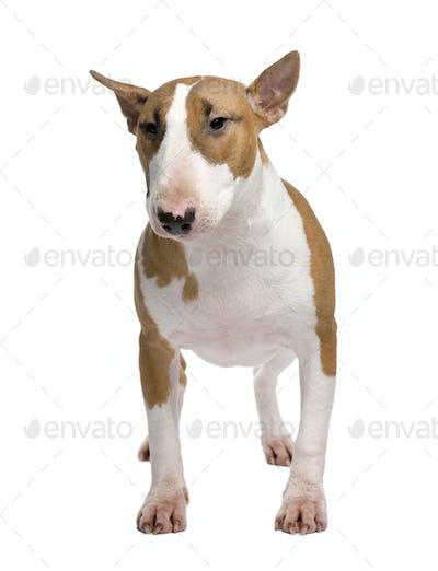 Bull Terrier (11 months)