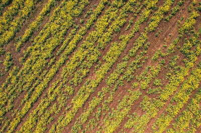 Aerial view of canola rapeseed field in poor condition