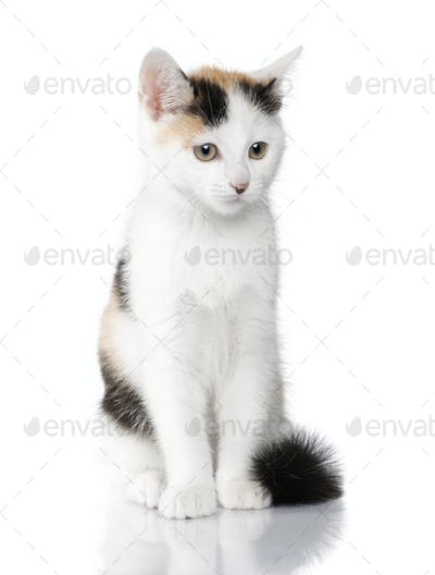 kitten European Shorthair cat (2 months)