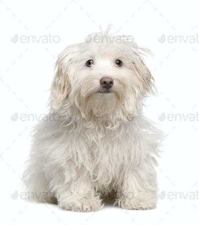 puppy maltese dog (5 months)