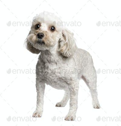 Mixed-Breed Dog between (4 years)