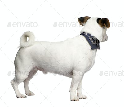 Jack russell (3 years)