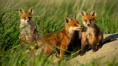 Red fox small young cubs near den curiously watching around