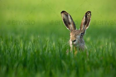 Wild European Hare, Lepus Europaeus, Close-Up On Green Background