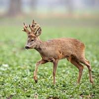 Roe deer, capreolus capreolus, buck with big antlers covered in velvet walking