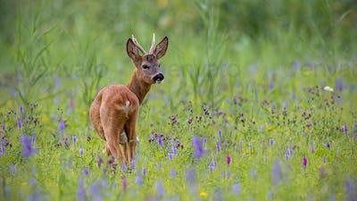 Roe deer, capreolus capreolus, buck in summer on a meadow full of flowers