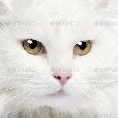 close-up on a white angora cat (5 years)