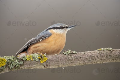 Eurasian nuthatch or wood nuthatch sitting on a perch in winter