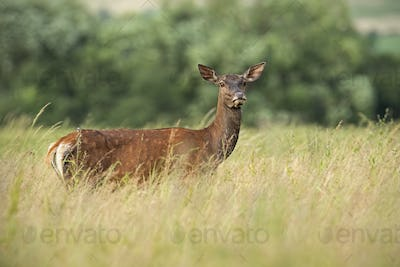 Red deer hind in high grass in summer