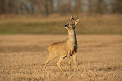 Roe deer buck in winter coating with antlers in velvet