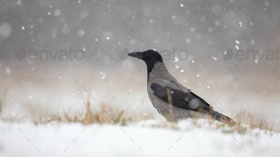 Hooded crow on snow in winter during snowfall