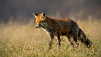 Red fox in autumn with blurred dry grass in background