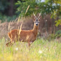 Roe deer buck in summer on a meadow with tall grass
