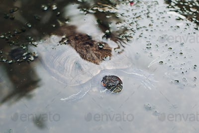 Close up of turtle swimming underwater