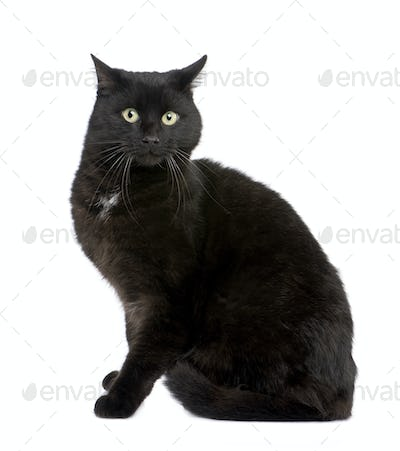 black European Shorthair cat (5 years)