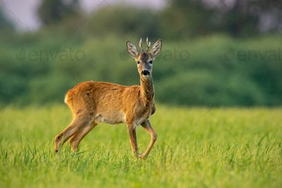 Curious roe deer buck in summer at sunset watching with one leg lifted