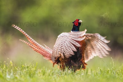Common pheasant male calling during breeding season