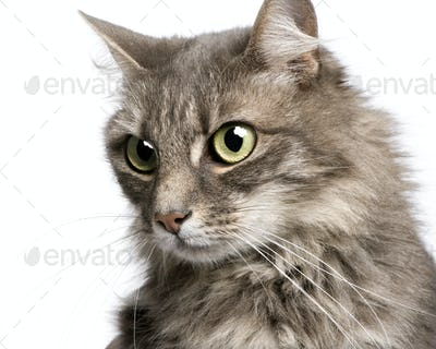 close-up on a Crossbreed angora cat and european cat (9 years)