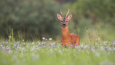 Roe deer buck with green blurred background for copy