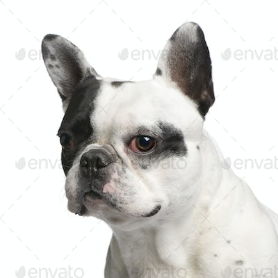 Close-up on a French Bulldog (5 years)