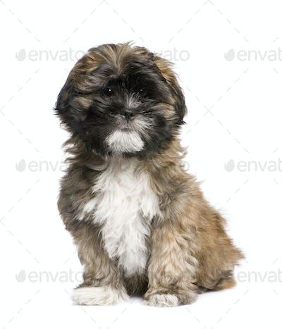 Puppy Lhasa Apso (3 months)