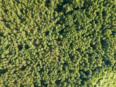 Forest trees. Aerial view from the drone of a green forest on a sunny summer day. Top view