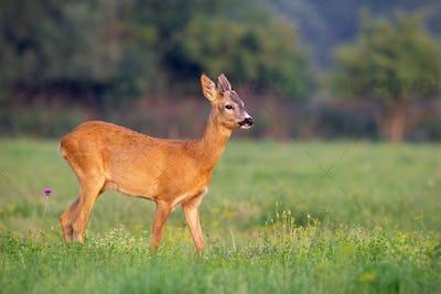 Young roe deer buck in summer on a fresh green grass
