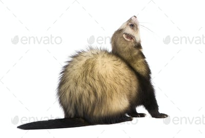 ferret - Mustela putorius furo