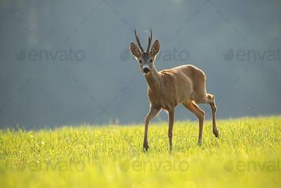 Roe deer, capreolus capreolus, buck in summer