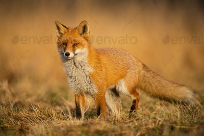 Adult fox with clear blurred background at sunset